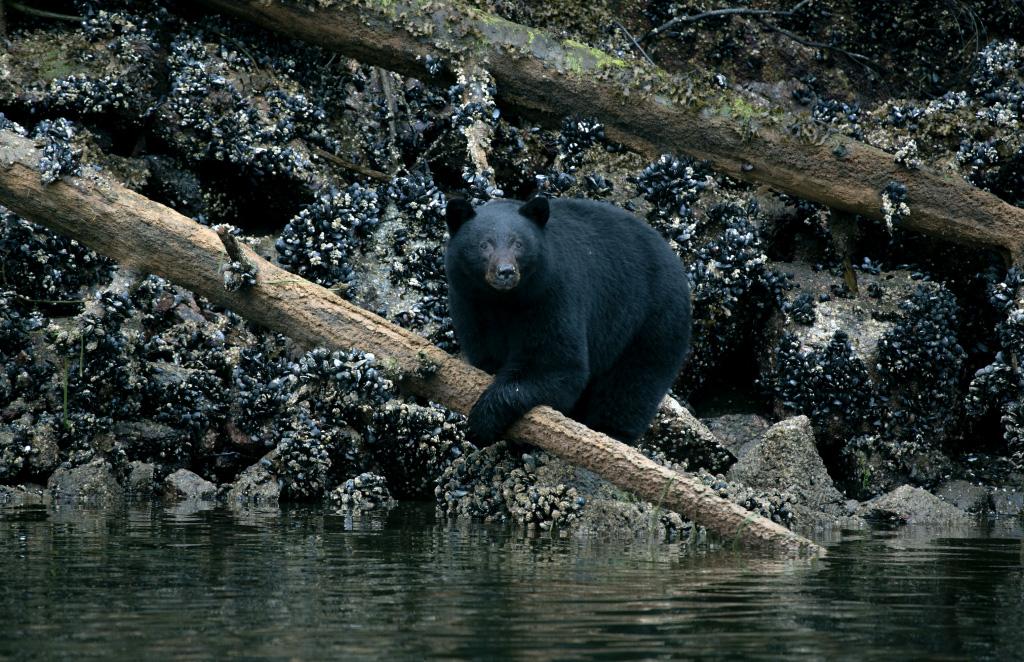 bear watching tofino bc